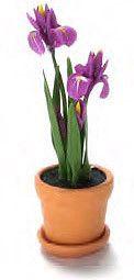 Miniature Purple Irises in Terra Cotta Pot  Price $7.99