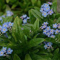 MYOSOTIS palustris 'Nixenauge' - Forglemmigej, farve: blå, lysforhold: sol/halvskygge, højde: 20 cm, blomstring: maj - august.
