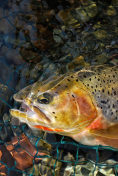 Westslope cutthroat trout, Fernie, BC, Canada.