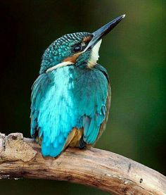 Common Kingfisher by Filipe Caetano - funny, doesn't look very common to me. Kinds Of Birds, All Birds, Little Birds, Love Birds, Pretty Birds, Beautiful Birds, Animals Beautiful, Exotic Birds, Colorful Birds