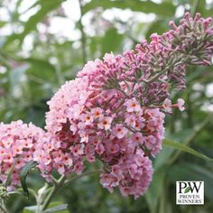 Beautiful Large blooms, Sterile ( allowed in all states) 4-6 ft tall, attracts Butterflies! New Proven Winners® Shrub for 2013.  Shrub Source - Buddleia - Inspired Pink Butterfly Bush, $16.99