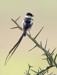 Pin-Tailed Whydah. Photo by tariquesani