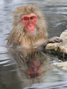 Laughing Mirror Without A Laugh by Harry Eggens - Photo 73551399 - Wild Animals Photography, Nature Photography, Japanese Macaque, Monkey Park, How To Take Photos, Old World, Mammals, National Parks, Mirror