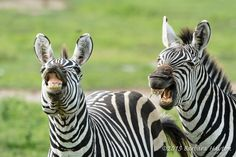 """Laughing Zebras"" by Barbara Hayton: While on safari in Tanzania, we stopped to watch a herd of zebras when these two caught my attention. It was as if they were sharing a funny joke, probably about us tourists with the big lenses."