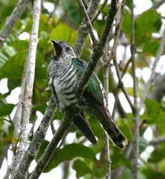 Shining Cuckoo- Native NZ Bird