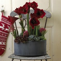 Amaryllis holder længe i dekorationer - deep wine amaryllis, deep rose hyacinths, succulents.