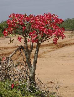 Adenium somalense Hola Desert Rose Plant, Desert Plants, Bonsai Plants, Parcs, Flowering Trees, Ikebana, Planting Succulents, Gardening, King