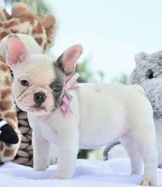 """"""" Lucy Available to a loving home """" www.PoeticFrenchBulldogs.com French Bulldog Puppies for sale: • Health certificate from our vet • Shots up to date • One year health guarantee Please visit site for more info 