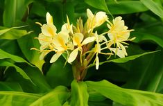 Yellow ginger--I fell in love with this fragrance many years ago...and I still love it. One of the reasons I couldn't bring myself to leave Hawaii when I was supposed to.