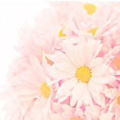 Pink Daisies~