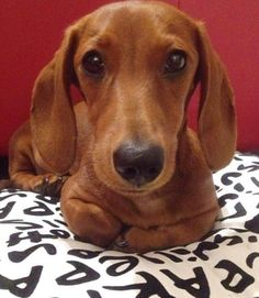 Handsome doxie