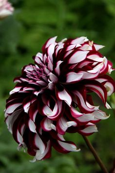Dahlia Tartan x 2 PN, cutting Unusual Flowers, Amazing Flowers, My Flower, Pretty Flowers, Dahlia Flowers, Dark Flowers, Gothic Garden, Seed Pods, Trees To Plant