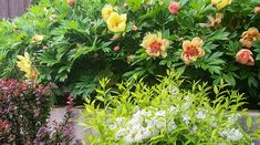 Itoh Peonies with barberry and olgon spirea Landscaping Tips, Outdoor Landscaping, Front Yard Landscaping, Permaculture Design, Types Of Soil, Types Of Plants, Colorful Shrubs, Growing Peonies, Sun And Water