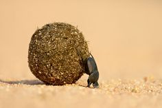 """""""The world's strongest creature is none other than a humble dung beetle—a male Onthophagus taurus has been measured pulling a weight 1,141 times that of its own body. ... To what end does the dung beetle use his super strength? As most males given superpowers probably would—to get girls."""""""