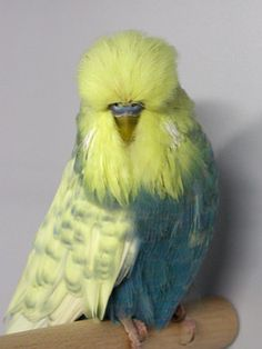 English Budgie                                                                                                                                                                                 Mais