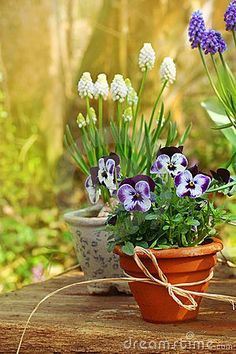 Front Step or sun room. Spring flowers in the garden - Beautiful spring or easter scene with potted pansies and grape hyacinth on a wooden table Love Flowers, Spring Flowers, Beautiful Flowers, Tiny Flowers, Diy Horta, Pot Jardin, Pot Plante, Spring Has Sprung, Arte Floral
