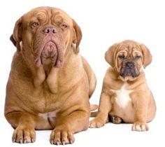 Anak Anjing Atau Anjing Dewasa? - Artikel Anjing Untuk Pemula - AnjingKita.Com