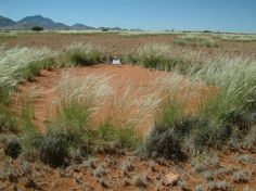 Few researchers have studied fairy circles, in part because of their remoteness, 111 miles (180 km) form the nearest village. It's an arid landscape where springbok, ostrich, leopards and other large animals roam, Tschinkel said. (Shown here, a fairy circle seen in 2011 after the rain.)