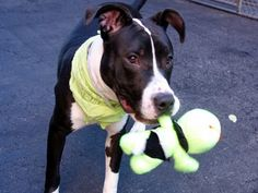 HOVA - A1055530 - - Manhattan  TO BE DESTROYED 11/08/15  A volunteer writes (as told by Hova): Hi puppy lovers out there!! I'm a fun loving, playful, active, very handsome (if I do say so myself), young pup who needs a new home. I'm well on my way to being housetrained if walked enough, I pull on the leash so could use a harness and some leash training, and I can be a bit jumpy when I play because I was never taught not to be. I'm all about love and fun, b