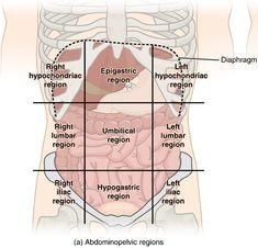 Abdominal surface anatomy (creative commons illustration) | Radiology Case | Radiopaedia.org Radiology, Human Anatomy, Surface, Medical Illustrations, Creative, Sd, Boards, Cases, Medicine