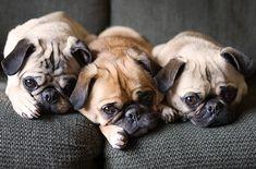 Epic Firetruck's Pugs ~ #pug