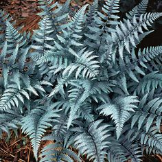 Ghost Lady Fern - Athyrium 'Ghost' is related to Japanese Silver-Painted Fern but even showier in the shadows. Tolerates dry conditions better than most ferns. Moon Garden, Dream Garden, Night Garden, Fern Plant, Plant Leaves, Japanese Painted Fern, Shade Garden Plants, Fine Gardening, Organic Gardening