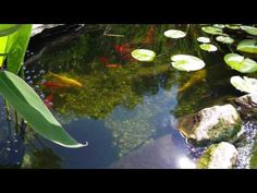 Channel Catfish Scavenging For Food Koi Pond   YouTube
