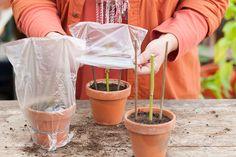 Zelf doen in de tuin: hortensia's stekken | Landleven
