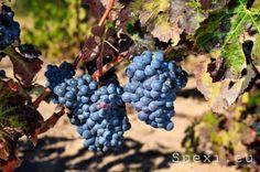 Sulcis: grapes of Carignano #wine #sardinia #carignano