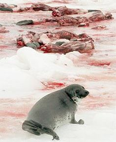 "Canada's Senate approves massive cull of grey seals. Please use this site to send protesting emails to the Canadian govt. ministers who can stop it. Click the image above. On the website, scroll to the picture of the protesters with ""Bloody Shame"" and follow links. This is really easy and quick to do. Or see http://www.harpseals.org for many other seal protection campaigns. Please sign and pass on. These animals suffer terribly in these horrific slaughters."