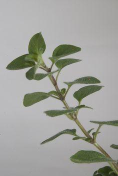 fresh oregano branch