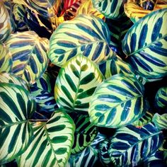 The Peacock plant is a member of the Calathea genus, which thrives in warmer, humid temperatures but not in full sun exposure. You can plant this lush tropical in pots to keep indoors — situated in indirect sunlight — until outdoor temps in your area are over 60 degrees F.