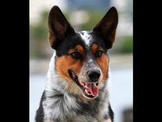 BAD ASS DOG 2