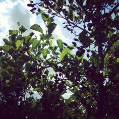 Bramble Tree