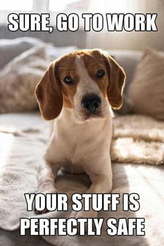 The Ultimate Beagle Humor! Beagle Memes and Funny Beagle Dog Pics! is part of Funny dogs - This post has some great Beagle Humor! Check out these original Beagle Memes Along with Beagle shaming and just regular funny Beagle Pics! Dog Memes Clean, Cat And Dog Memes, Cute Dog Memes, Dog Quotes Funny, Dog Sayings, Baby Beagle, Beagle Funny, Funny Dogs, Chihuahua Dogs