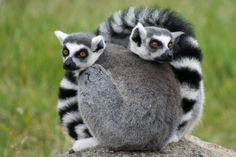 The ring-tailed lemur is one of over 100 known species and subspecies of lemur found only in Madagascar. ◆Madagascar - Wikipedia https://en.wikipedia.org/wiki/Madagascar #Madagascar