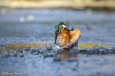 the kingfisher - null
