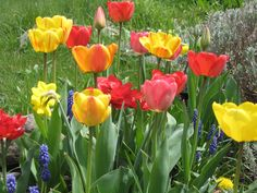 Spring tulips...lovr these flowers