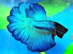 Purple Betta Fish | ... → http://www.ebay.com/itm/Male-Crowntail-Betta-Blue-Blk-Purple