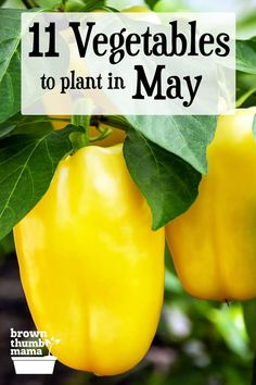 This planting guide for Zone 9 has 11 vegetables you can plant in May for a great harvest this summer and fall. Includes recommended varieties and growing tips. Easy Vegetables To Grow, Growing Veggies, Planting Vegetables, Healthy Vegetables, Growing Plants, Fruits And Veggies, Planting Pumpkins, Planting Flowers, Flowering Plants