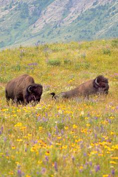 American Bison (Alberta)