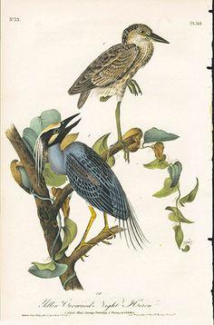 Yellow-crowned Night Heron John James Audubon Bird Prints 1st Edition 1840, Volume 6