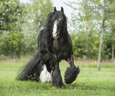 Gypsy Vanner Horses for Sale | Stallion | Black Bay | Billy Boy
