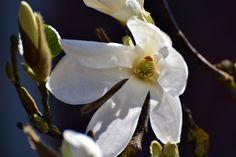 Magnolia and Ladybug 2017. Holland, Stompetoren.