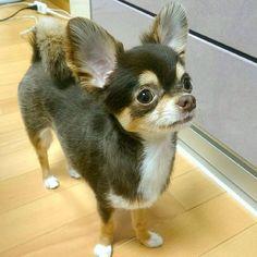 . ちゅるちゅる短髪ヘアーにしないと🙈🎶 寒いからか、超密着で寝るのかわいい💓 . #チワワ#치와와#吉娃娃#犬#愛犬#犬バカ#ロングコートチワワ#チョコタン #dog#mydog#chihuahua#dogoftheday#chihuahuaoftheday#instachihuahua#instadog#dog_features#chihuahualove#onlychihuahuas#chihuahuaofinstagram#dogofinstagram#chihuahuafanatics#dogcorner#dogs_of_instagram#dogpic#topdogphoto#mydogiscutest#chihuahuastagram#a_dogsworld#dogstagram#ig_dogphoto