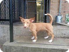 Toronto, ON - Podengo Portugueso Mix. Meet GIDGET, a puppy for adoption. http://www.adoptapet.com/pet/14017544-toronto-ontario-podengo-portugueso-mix