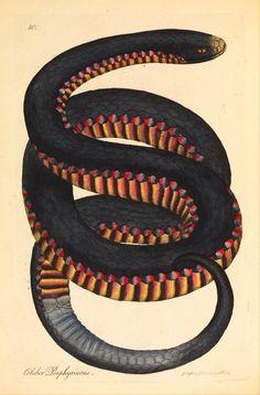 magictransistor:  James Sowerby, Crimson-sided snake (Coluber porphyriacus), 1794.