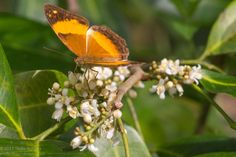 Butterflies, Bees and hungry humans all agree that Orange berry (Glycosmis trifoliata) is a great choice for tropical and sub-tropical habitat or bush tucker themed Australian gardens. (Pictured: Australian Rustic butterfly sipping nectar from Orange berry flowers)