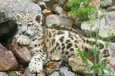 Sweet Snow Leopard Cub!