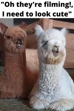 2 Cute Little Alpacas Chewing in their own Style ! Alpaca Funny, Cute Alpaca, Funny Llama, Funny Animal Memes, Funny Animal Pictures, Baby Alpaca, Cute Little Animals, Cute Funny Animals, Cute Cats